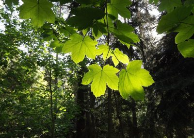 junge Ahornblätter im wald