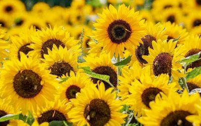 Sonnenblumen im Naturpark Fläming