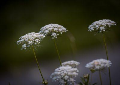 Blüte wilde Möhre