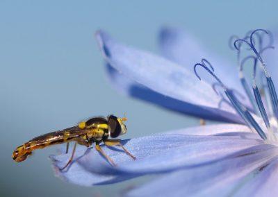 Wegwartenblüte mit Insekt